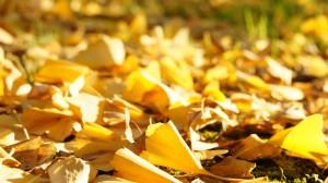 秋天唯美银杏树叶