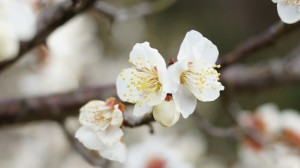 纯洁淡雅白色梅花图片桌面壁纸