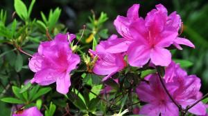 姹紫嫣红的杜鹃花