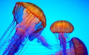 美丽海洋精灵水母高清桌面壁纸