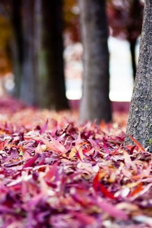 大自然唯美枫叶深秋美景手机壁纸