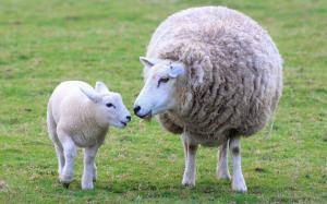 羊妈妈的母爱一样伟大