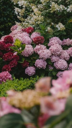 绣球花团鲜艳唯美写真