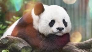 熊猫萌系高清手机壁纸