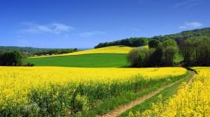 蓝色天空下油菜花壁纸