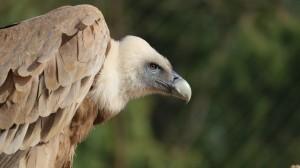 凶猛犀利的兀鹫图片