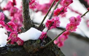 雪中最漂亮的梅花图片