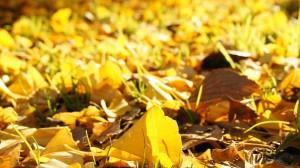 秋天美丽银杏叶图片桌面壁纸