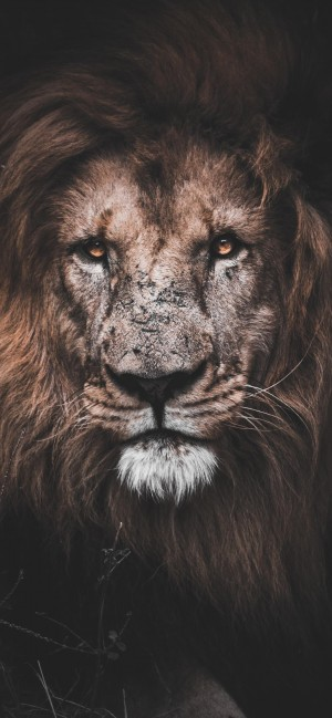 狮子威武霸气的注视