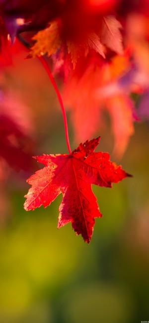 秋天的唯美枫叶高清手机壁纸