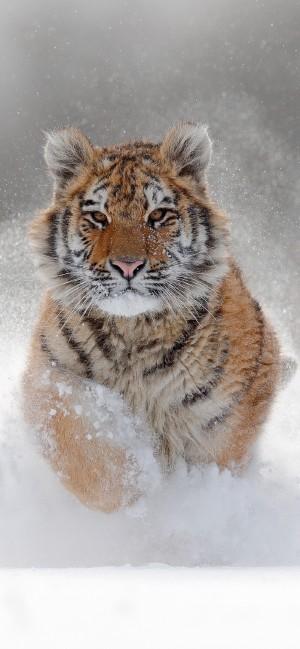 雪地上呆萌的小老虎