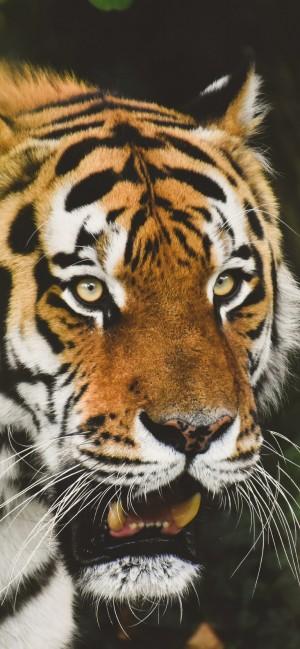 老虎全面屏高清手机壁纸