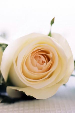 白色玫瑰花唯美图片