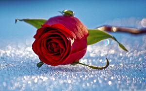 玫瑰花是情人节最浪漫的礼物