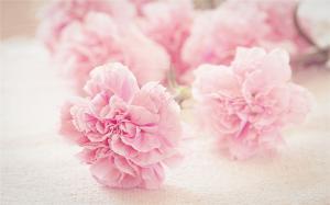 粉嫩康乃馨唯美高清桌面壁纸