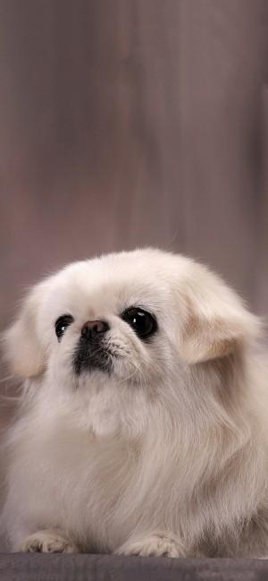 京巴犬可爱手机壁纸