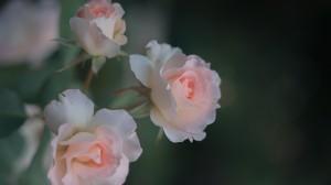 娇艳蔷薇花图片桌面壁纸