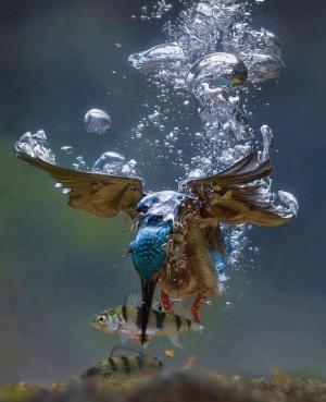 翠鸟的水下狩猎