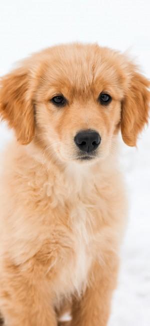 可爱的金毛寻回犬