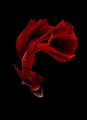 鱼仿佛现代舞演员一般