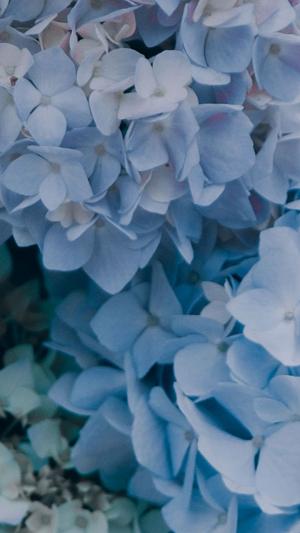 清新雅致绣球花自然拍摄