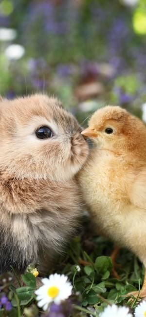 依偎在一起的小鸡仔与小兔子