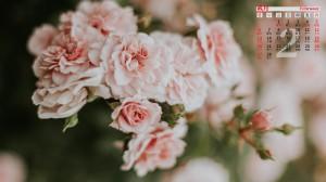 2022年2月唯美粉玫瑰日历壁纸图片