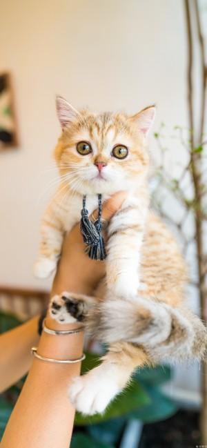 漂亮的苏格兰折耳猫