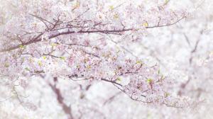 樱花摄影@吴秋煌 樱花4k壁纸