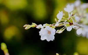 春天的清新樱花摄影图