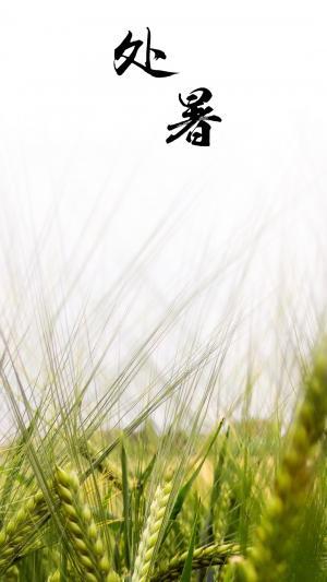 处暑节气时的麦子图片