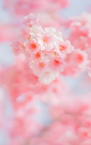 意境迷人的樱花微距图