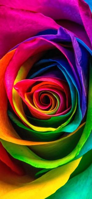彩虹玫瑰主题唯美手机壁纸