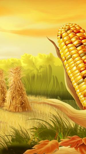 感恩玉米收获