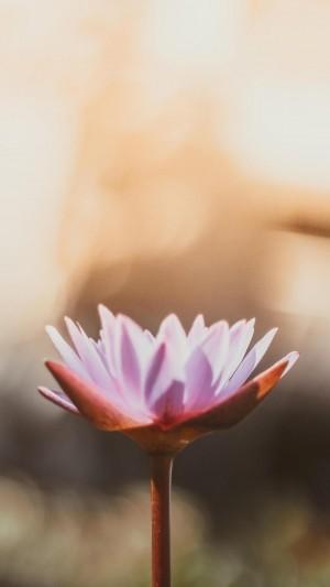 艳丽唯美的睡莲