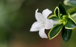 素雅小清新六月雪植物图片