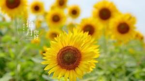 十月你好美丽向日葵图片桌面壁纸