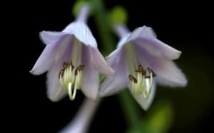 清新迷人的玉簪花