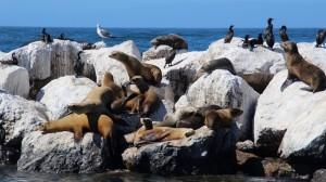 海滩晒太阳的海狮
