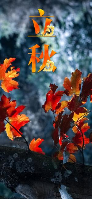 立秋火红的枫叶图片
