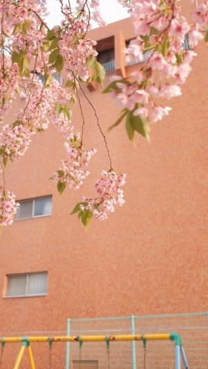 日系迷人樱花摄影
