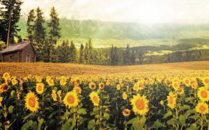 唯美意境向日葵图片