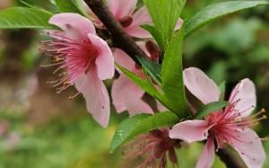 养眼清新的樱花近拍图