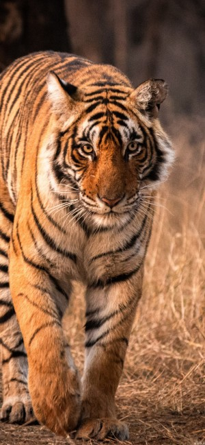 威严优雅的老虎