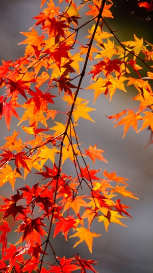 秋天红色的枫叶高清手机壁纸