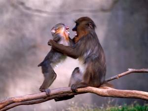 野生动物猴子高清摄影图片