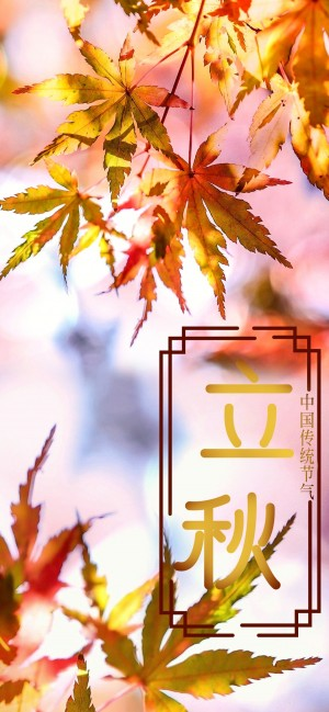 24节气立秋金黄色的枫叶